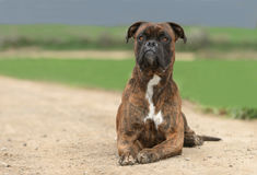 Male boxer dog Royalty Free Stock Photography