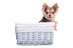 Male(boy)chihuahua puppy in a blue basket Stock Photos