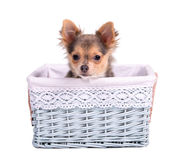 Male (boy) chihuahua puppy in blue basket Stock Images