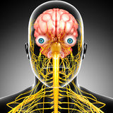 Male brain anatomy with nervous system Stock Images