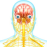 Male brain anatomy with nervous system royalty free illustration