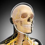 Male brain anatomy with nervous system Royalty Free Stock Images
