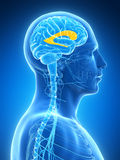 Male brain Royalty Free Stock Images