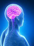 Male brain Stock Images