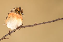 Male brambling on branch Royalty Free Stock Image