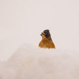 Brambling in the snow Royalty Free Stock Photo