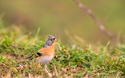 Male Brambling on grass Royalty Free Stock Photo