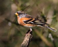 Male Brambling stock images