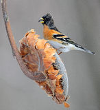 Male Brambling Royalty Free Stock Image
