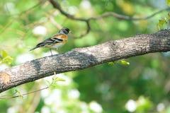 Brambling. A male Brambling stands on branch in forest. Scientific name: Fringilla montifringilla stock images
