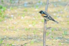 Brambling. A male Brambling stands on branch. Scientific name: Fringilla montifringilla royalty free stock photography