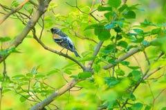 Brambling. A male Brambling stands in branches. Scientific name: Fringilla montifringilla stock images