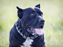 Male of breed Cane Corso Royalty Free Stock Image
