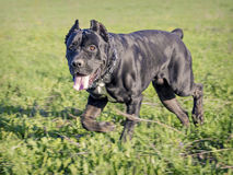 Male of breed Cane Corso Royalty Free Stock Images