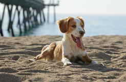 Male Breton Dog Royalty Free Stock Photography