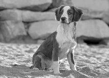 Male Breton Dog. In the beach at black and white Stock Image