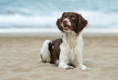 Male breton dog at the beach. Is laying down and is looking to his right Royalty Free Stock Images