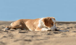 Male Breton Dog. Laying on the beach Stock Photography
