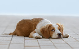 Male Breton Dog. Laying on the floor Stock Photos