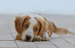Male Breton Dog. Laying on the floor Royalty Free Stock Photos