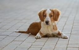 Male Breton Dog Stock Photography