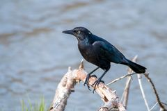 The Male Brewer`s Blackbird at Malibu Lagoon in September Royalty Free Stock Photo