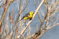 The male of a bright citrine wagtail draws on himself attention sitting on a branch. The male of a bright citrine wagtail (motacilla citreola) draws on himself royalty free stock photo