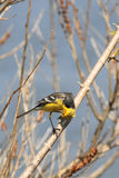 The male of a bright citrine wagtail draws on himself attention sitting on a branch. The male of a bright citrine wagtail (motacilla citreola) draws on himself royalty free stock photos