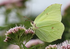 Male Brimstone Butterfly feeding Royalty Free Stock Photos