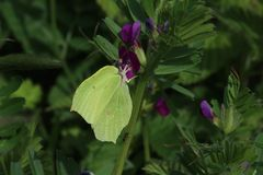 Male Brimstone Butterfly (Gonepteryx rhamni). A male brimstone butterfly settled on a purple flower with green leaves. This picture was taken in Early May in Royalty Free Stock Photography