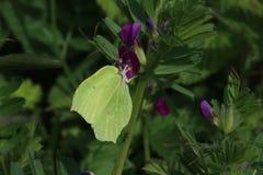 Male Brimstone Butterfly (Gonepteryx rhamni) Royalty Free Stock Photography