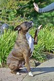 Male Brindle Boxer giving a hi 5 HDR stock photos