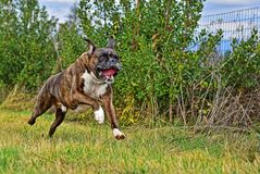 Male Brindle Boxer leaps in front of the camera HDR royalty free stock images