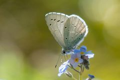 Holly blue Celastrina argiolus nectaring on forget-me-not. Male British insect in the family Lycaenidae feeding on Myosotis sp., with underside visible Royalty Free Stock Images