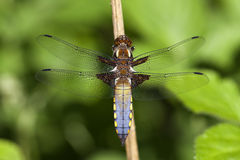Male broad-bodied chaser. Back view - Germany - Schleswig-Holstein Stock Images