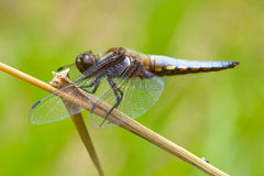 A Male Broad-bodied Chaser dragonfly. A Male Broad-bodied Chaser dragonfly, libellula depress, resting on a plant stem Royalty Free Stock Photo