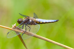 Male Broad-bodied Chaser dragonfly on stem. royalty free stock photos