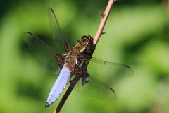 Male broad bodied chaser - Libellula depressa Stock Image