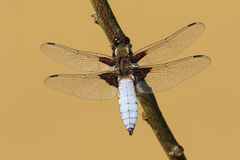 A male Broad-bodied Chaser Libellula depressa perched on a branch. Stock Photo