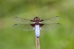 Male Broad-bodied Chaser (Libellula depressa) Stock Photos