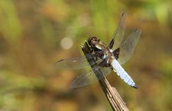 A stunning male Broad-bodied Chaser Libellula depressa perching on a plant at the edge of a pond. A male Broad-bodied Chaser Libellula depressa perching on a Royalty Free Stock Photos