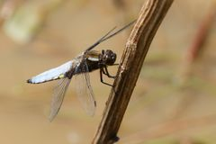 A stunning male Broad-bodied Chaser Libellula depressa perching on a plant stem in the middle of a pond. A male Broad-bodied Chaser Libellula depressa perching Stock Image