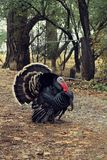 Male Bronze breed Domestic Turkey on path. Handsome, Bronze Breed, Male Domestic Turkey strutting down a path with beautiful brown and black feathers stock images