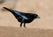 Male Bronze Cowbird. Cowbirds are birds belonging to the genus Molothrus in the family Icteridae. They are of New World origin. They are brood parasites, laying Stock Images