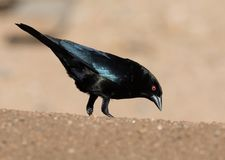 Male Bronze Cowbird. Cowbirds are birds belonging to the genus Molothrus in the family Icteridae. They are of New World origin. They are brood parasites, laying Royalty Free Stock Photography