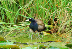 Male bronze-winged jacana Stock Images