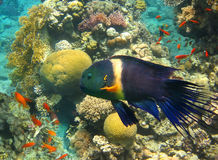 Male of Broomtail Wrasse (Cheilinus lunulatus) Stock Images