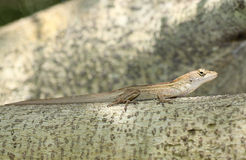 Male brown Anole Stock Photography