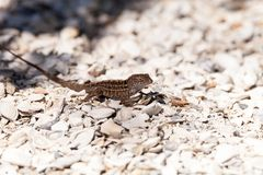 Male Brown Anole lizard Anolis sagrei. With a red orange dewlap on white gravel stock photo
