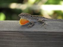 Male Brown Anole Lizard with dewlap. Male Brown Anole Lizard is displaying his dewlap - Lettuce Lake Park in Tampa, FL Stock Images